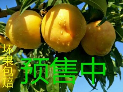 """歇马村特产""""歇马蜜桃""""辽宁省内5.5斤包邮口感香甜如蜜精品包装"""