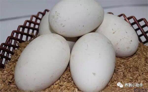 歇马村农家大鹅蛋 辽宁省内包邮 25枚 单个重2.5-3两