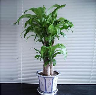 设计师推荐5种居室绿植