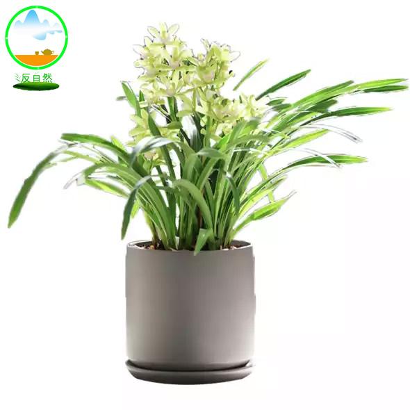 上海辦公綠植之香蘭