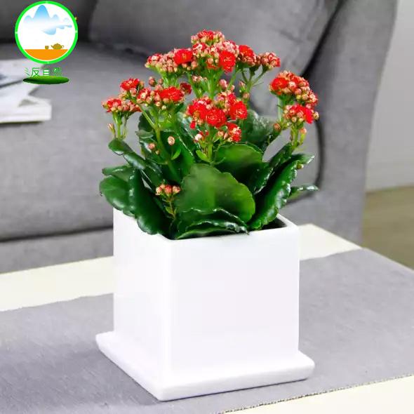 辦公室花卉之長壽花