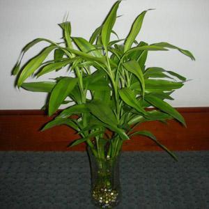 水養富貴竹1