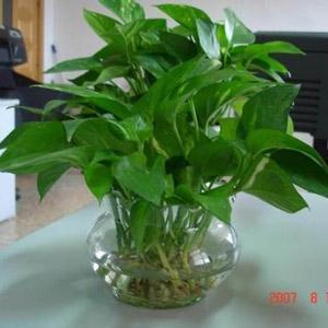 水養綠蘿植物租賃