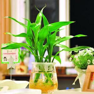 水養富貴竹