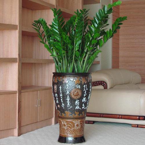 金錢樹養護2