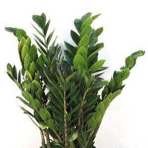 金錢樹植物養護
