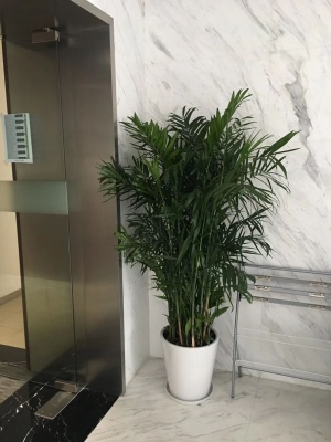 夏威夷椰子