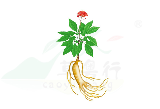 绿色黄金之人参花代用茶