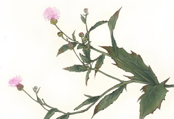 药食同源之小蓟代用茶