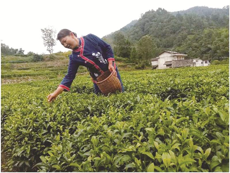 """慈利县三合镇:千年茶乡用""""硒""""崛起"""