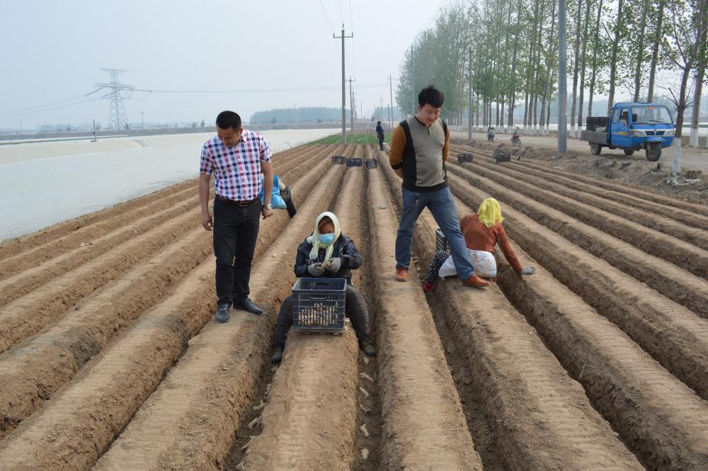 生姜种植基地