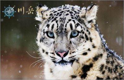 印度新年喜马拉雅山脉雪豹追踪远征
