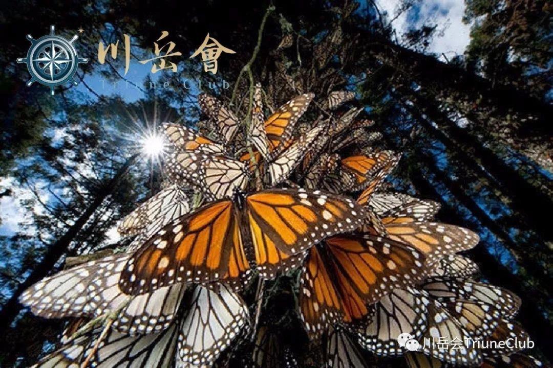 狂野原创 | 生命的接力-墨西哥帝王蝶迁徙&古巴炫彩探秘