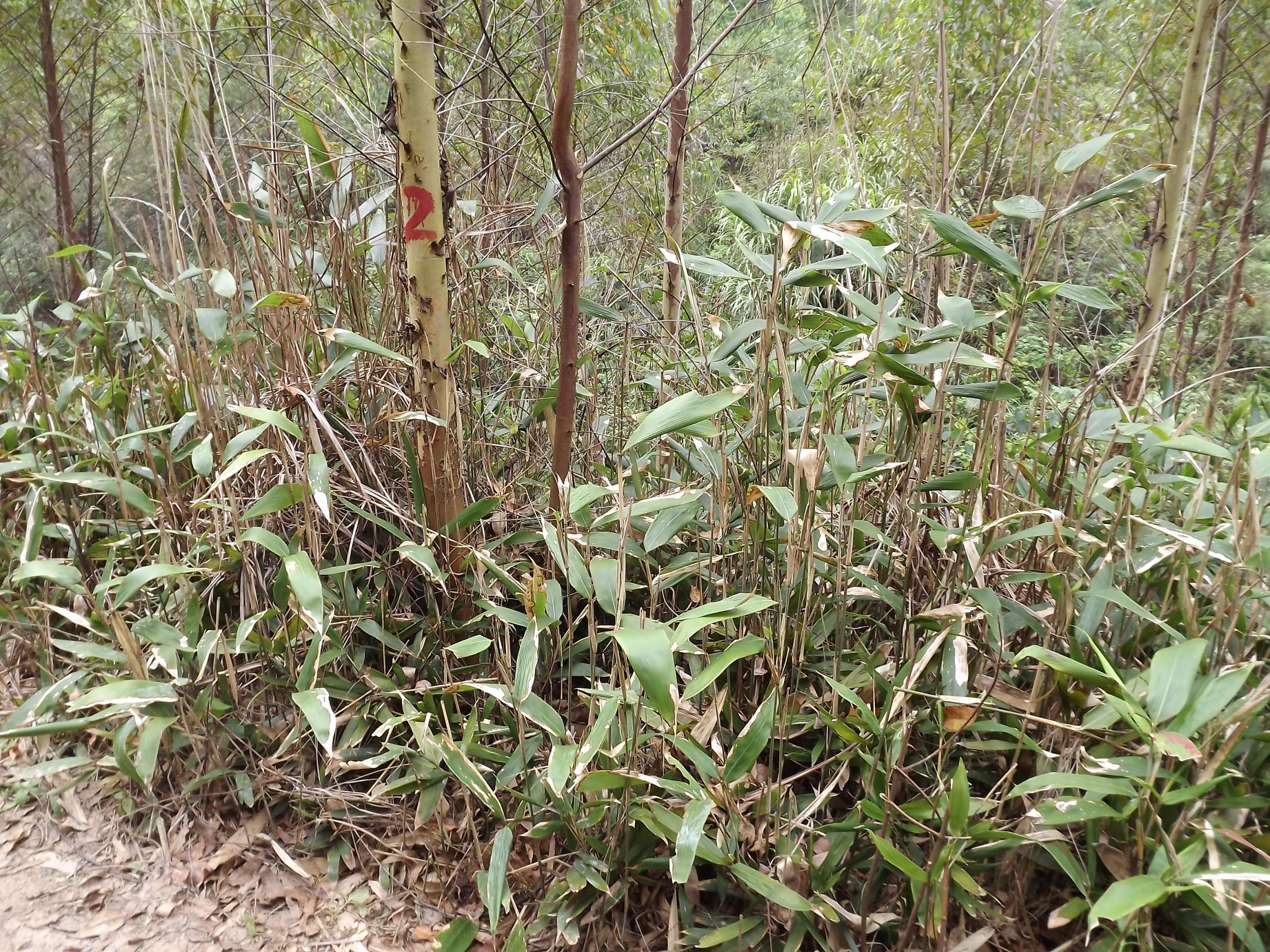 人工林杂竹防治技术