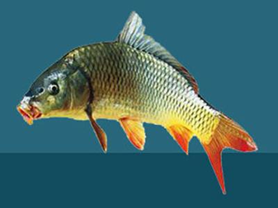 粉碎鯉魚飼料
