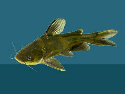 粉碎黃顙魚飼料
