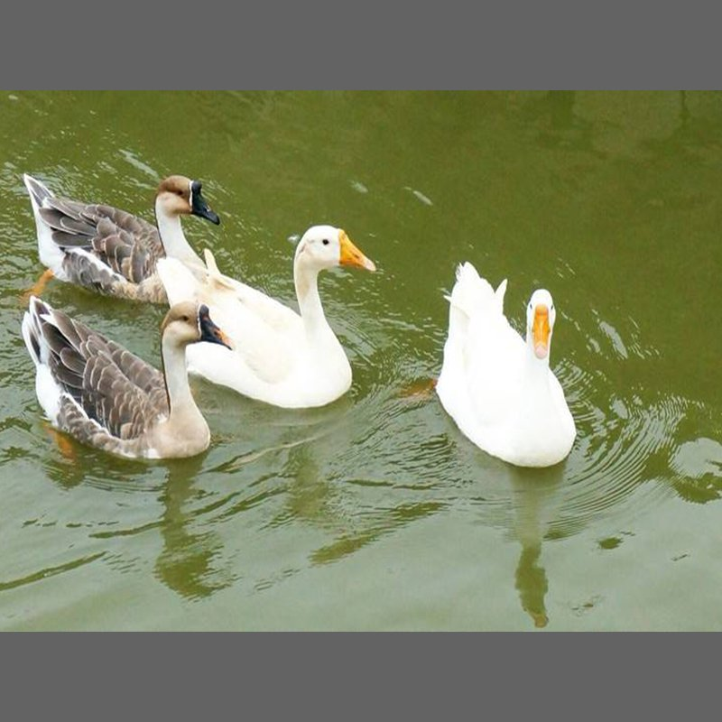 果园散养水鹅