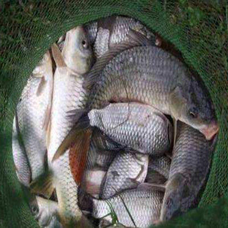 农家自养鱼钓鱼