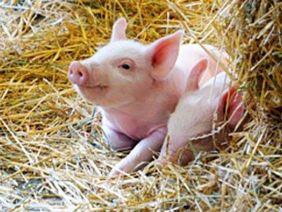 夏日猪场的管理取疫病防控