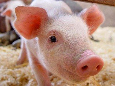 春季养猪三要领