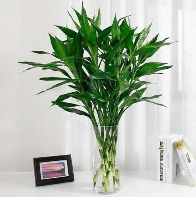 富貴竹-花瓶水培