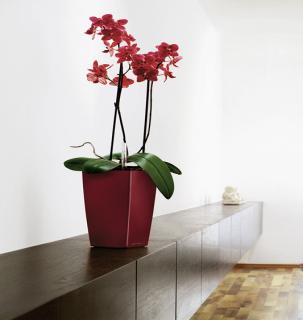 紅色蝴蝶蘭