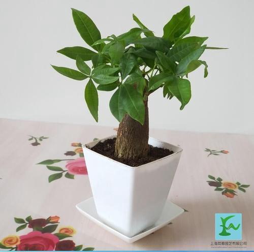 小型發財樹