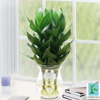 水培富貴竹