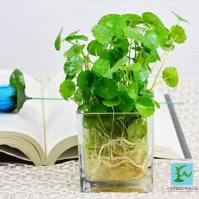 水培銅錢草