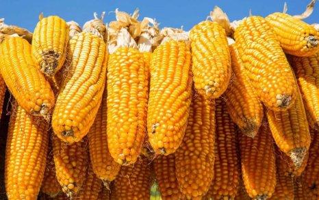再次逼近2686元/噸,玉米...