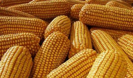 華北玉米開始調漲 曇花一現還...