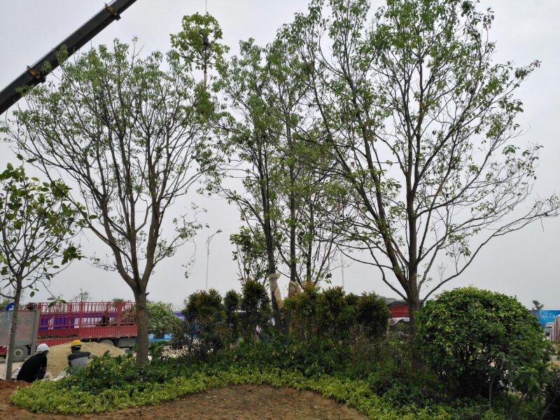 保利碧桂园海悦天景绿化工程处于施...
