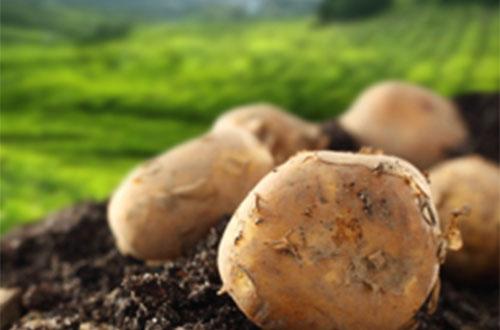 中膳贵州安顺土豆农业基地管理