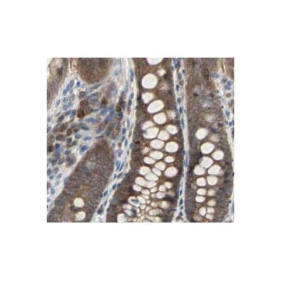 AF6311|affinity|Caspase 3 Antibody