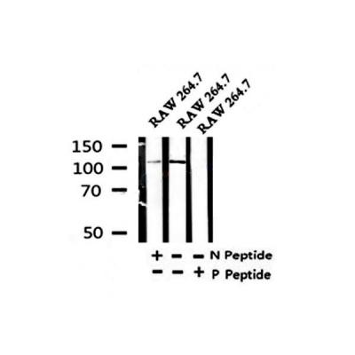 AF4320|affinity|Phospho-NLRP3(Ser295) Antibody