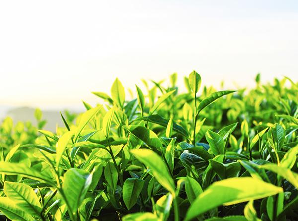 茶叶空气能烘干解决方案