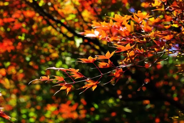 国庆出游看红叶,羿昂电动观光车带你走进青岛童话里的秋天!