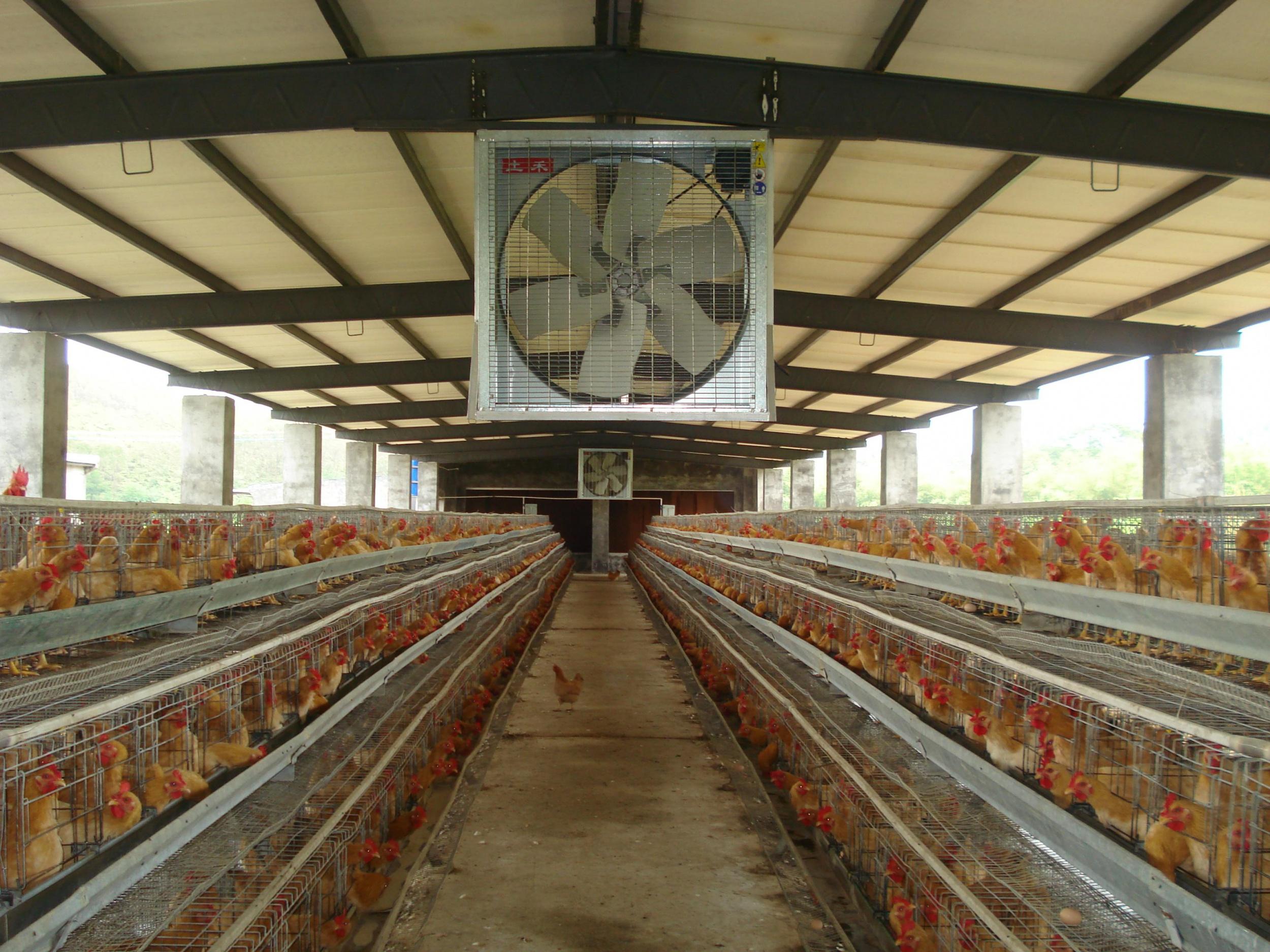 夏季鸡舍怎么降温?养殖场究竟如何降温?